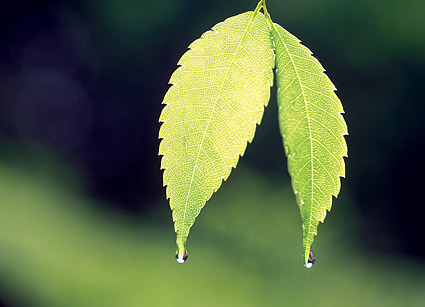 2 leaves with drops of picture material