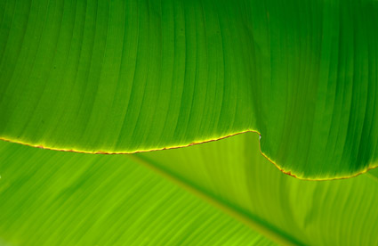 Banana leaf quality picture material-2