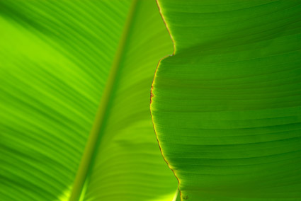 Banana leaf quality picture material-3