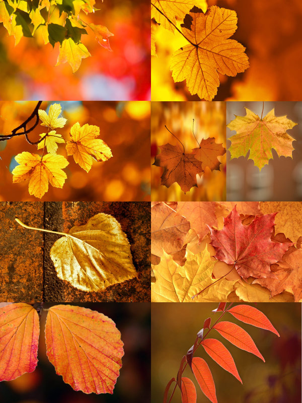 Beautiful autumn leaves of 1-HD pictures