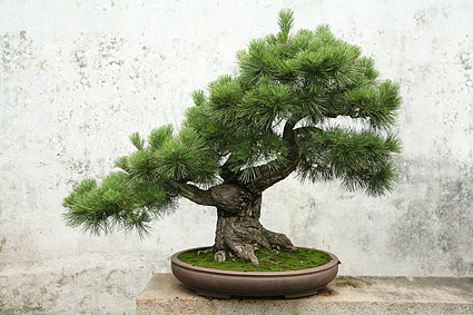 Bonsai picture material-1
