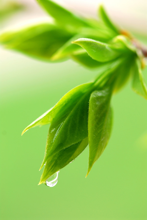 Bud green leaves and dew feature HD picture