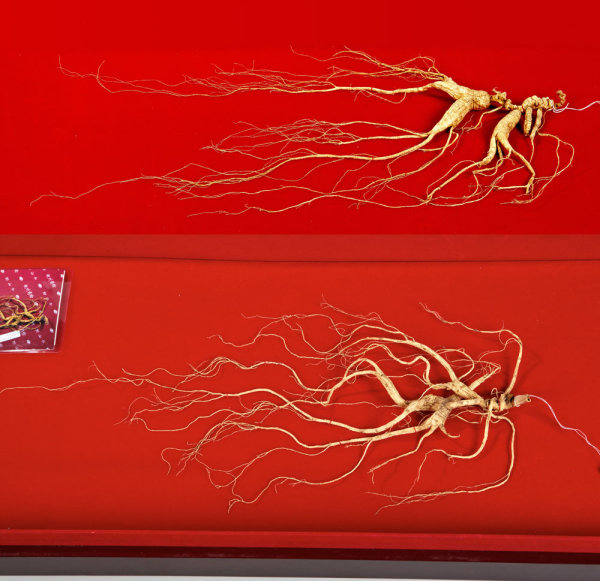 Century-old wild ginseng HD photos