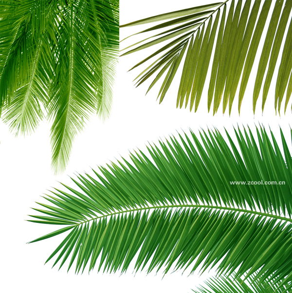 Coconut tree leaves feature HD picture material (3P)