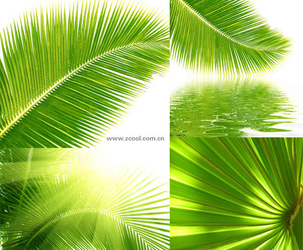 Coconut tree leaves feature HD picture material (4P)