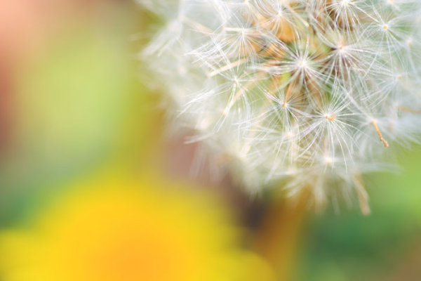 Dandelion HD pictures