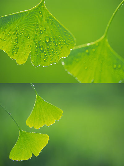 Ginkgo biloba leaf drops, high definition pictures