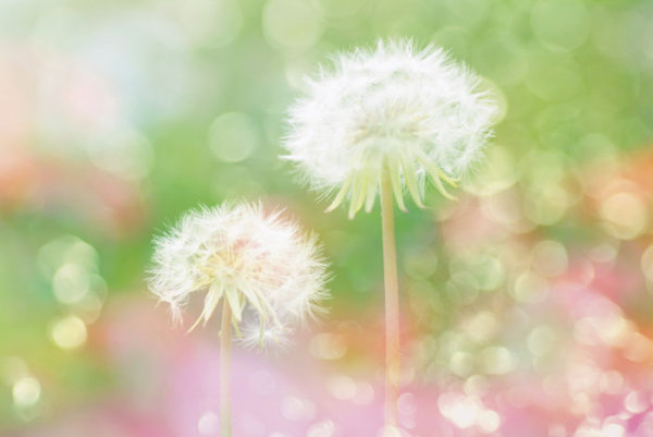 Halo dandelion HD pictures
