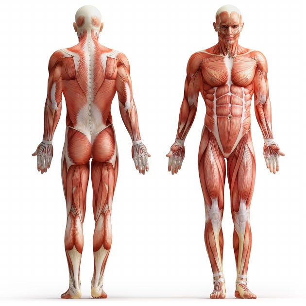 Human muscle Anatomy pictures download