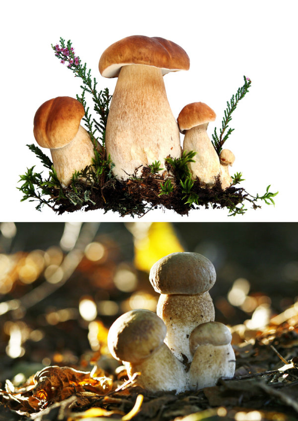 Mushroom   HD pictures 1