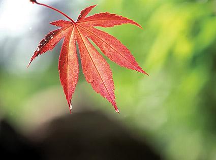 Red Maple Leaf Chinese Restaurant picture material