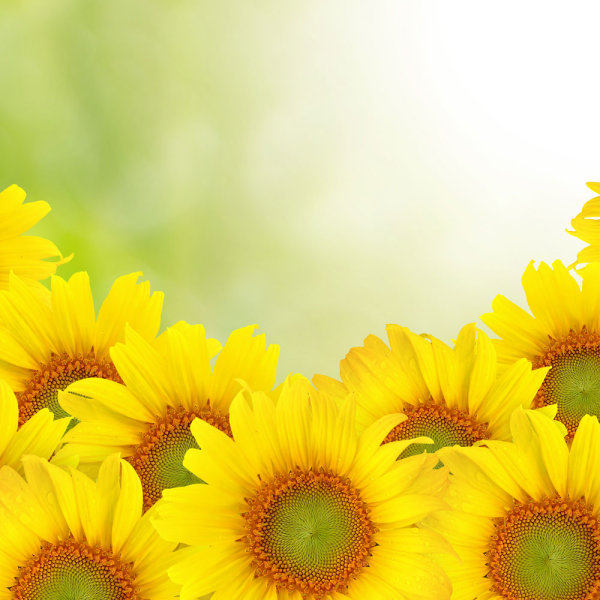 Sunflower background 02--HD pictures