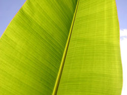 Banana leaf quality picture material 4