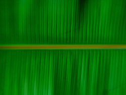 Banana leaf quality picture material