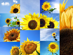Blue sky and sunflower-pictures-HD