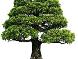 Bonsai picture material-3