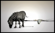 Fashion Zebra HD pictures