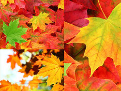 Maple Leaf Chinese Restaurant autumn leaves HD picture material (2P)
