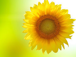 Sunflowers background 02-HD pictures
