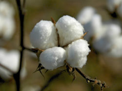Warm cotton-HD pictures 1