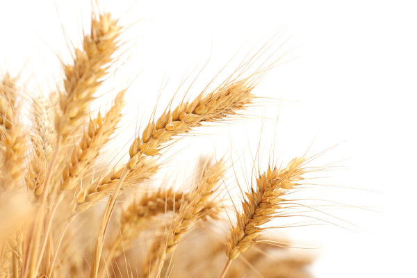 Wheat 04--HD pictures