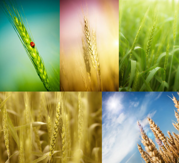 Wheat HD pictures