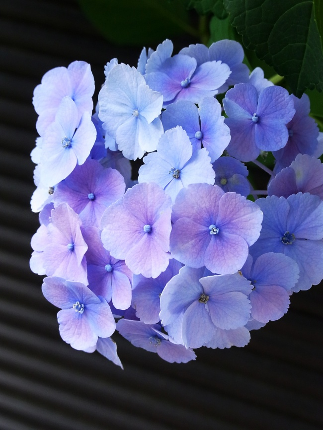Beautiful hydrangea pictures