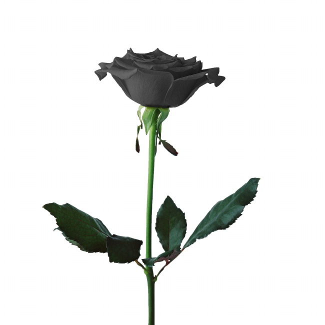 Black roses HD large pictures