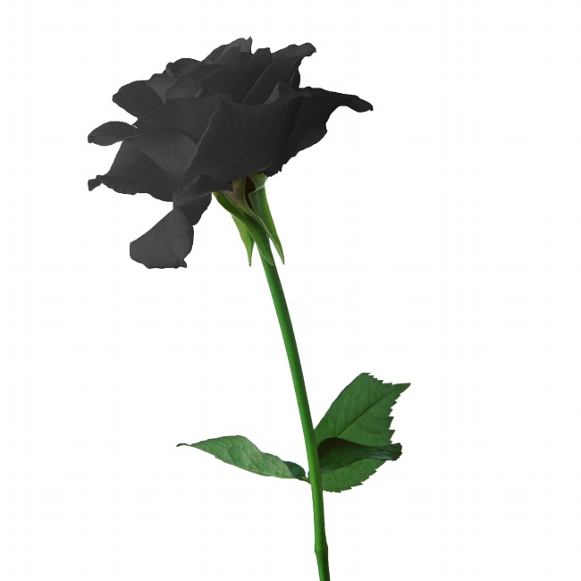 Black roses HD pictures