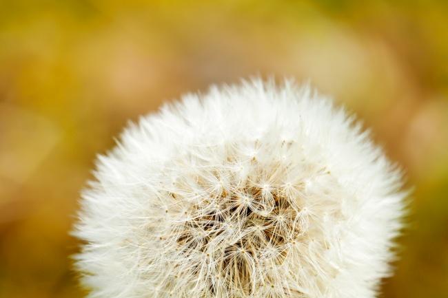 Dandelion beautiful pictures