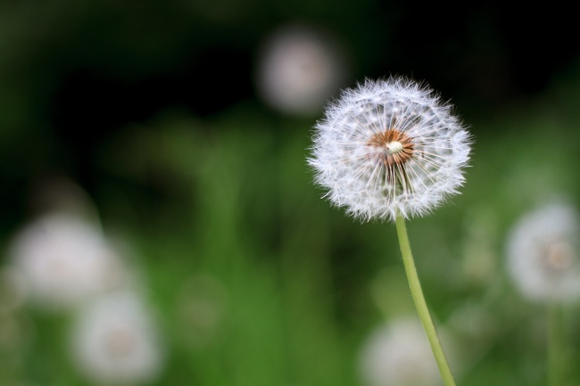 Dandelion HD picture download