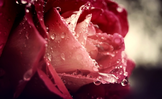 Dew rose picture download