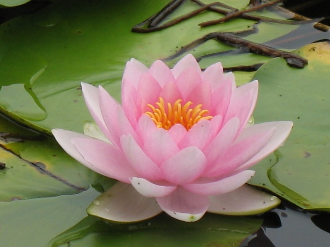 HD picture pink Lotus downloads