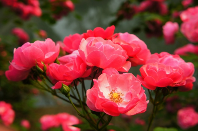 HD rose flower pictures