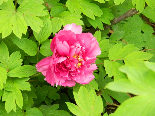 Peony flowers HD pictures
