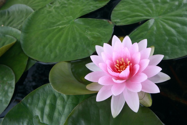 Pink Lotus picture material download