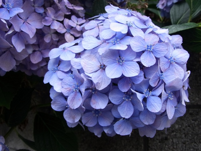 Purple hydrangea pictures download