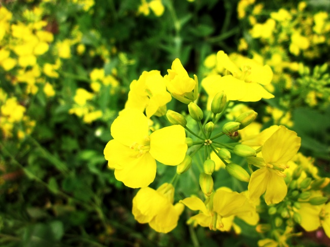 Rape flowers HD pictures