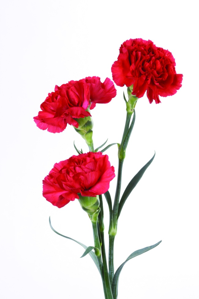 Red Carnation bouquet pictures