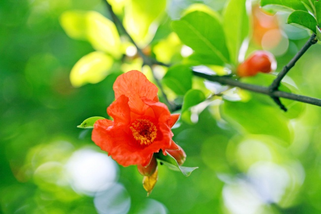 Red pomegranate flowers pictures download