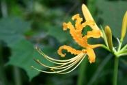 Beautiful Amaryllis pictures