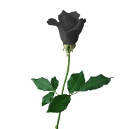 A black rose pictures download
