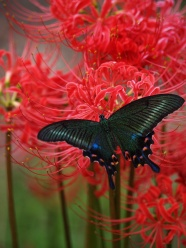 Across the black Butterfly flower pictures
