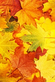 Autumn Maple Leaf Chinese Restaurant HD pictures
