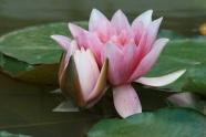 Beautiful Lotus picture material download