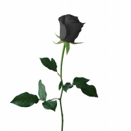 Black Beauty roses pictures