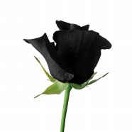 Black roses picture material