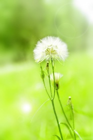 Dandelion beautiful HD pictures
