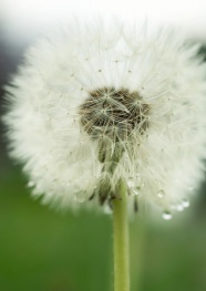 Dandelion pictures download
