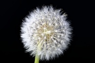 Dandelion pictures